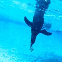 CirPlas - Events Resources - Penguin dive - 250x250